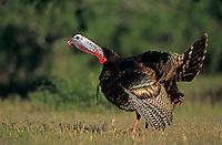 Wild Turkey, Meleagris gallopavo,male calling, Lake Corpus Christi, Texas, USA