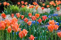 Orange tulips and blue Muscari in Chanticleer's spring garden