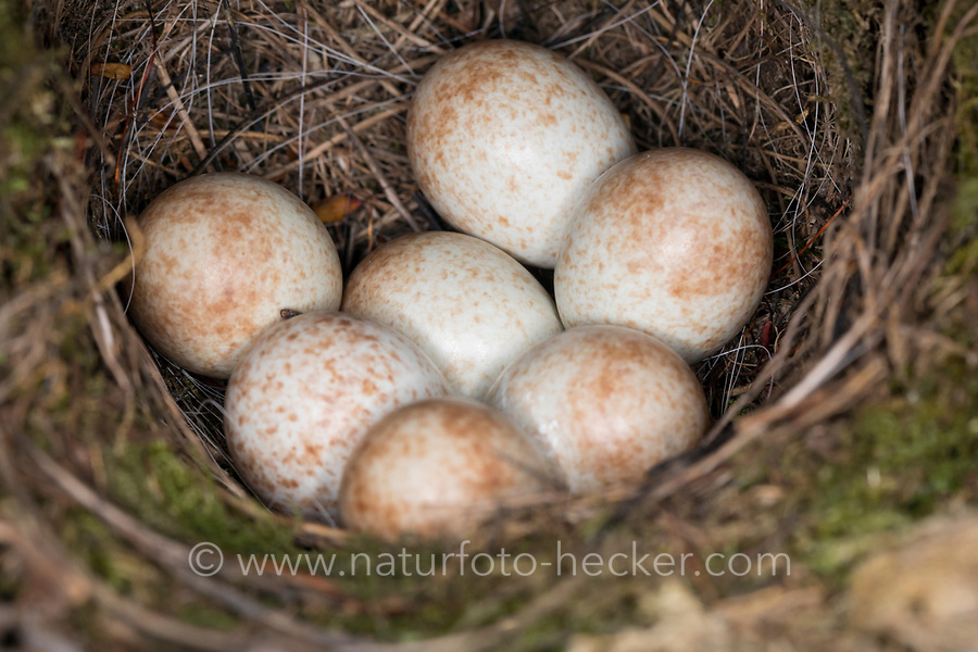 Rotkehlchen, Nest, Gelege, Eier, Ei, Erithacus rubecula, robin, European robin, robin redbreast, nest, eggs, egg, Le Rouge-gorge familier