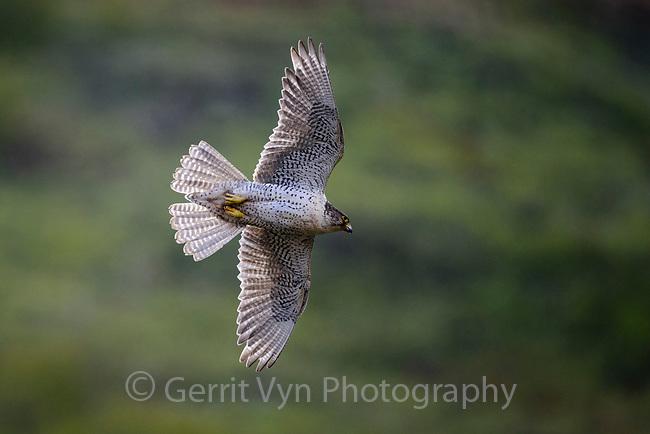 Gyrfalcon (Falco rusticolus). Seward Peninsula, Alaska. June.