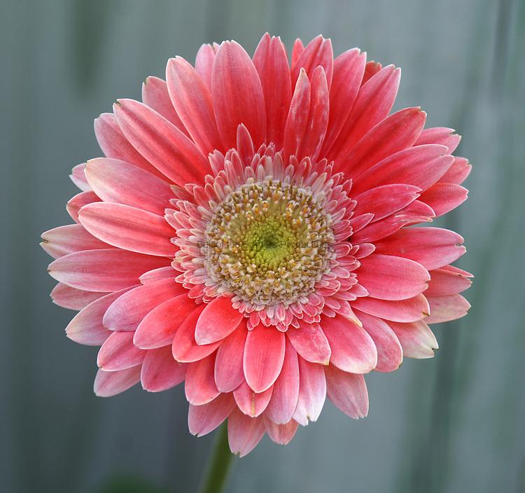 Gerber daisy in bloom.