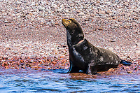California sea lion, Zalophus californianus, entangled with monofilament fishing net, Isla San Pedro Martir, Baja California, Mexico, Gulf of California, Sea of Cortez, Pacific Ocean