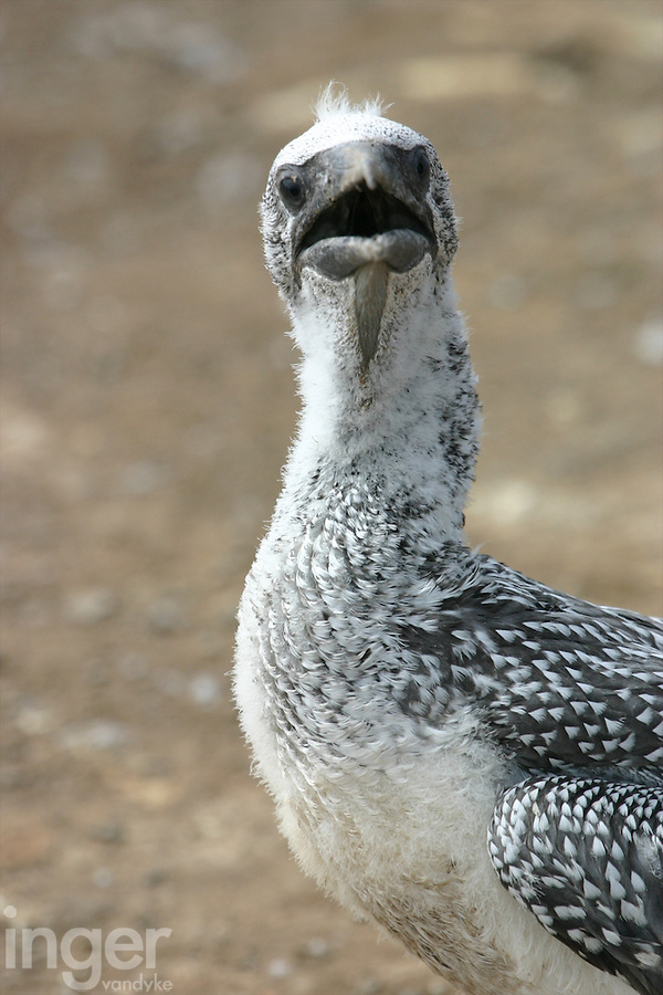 A young Australasian Gannet at Cape Kidnappers, New Zealand