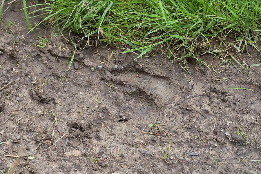 Elch, Spur, Trittsiegel, Fußspur, Fußabdruck im Schlamm, Alces alces, Elk, Elan