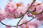 Europa, DEU, Deutschland, Nordrhein Westfalen, Rheinland, Niederrhein, Japanische Bluetenkirsche (Prunus serrulata), Fruehling, Blueten Kirschbaumblueten, Natur, Umwelt, Pflanzen, Pflanzenkunde, Botanik, Biologie, Die Japanische Bluetenkirsche (Prunus serrulata), auch Orientalische Kirsche, Ostasiatische Kirsche oder Grannenkirsche genannt, ist eine Pflanzenart aus der Gattung Prunus in der Familie der Rosengewaechse (Rosaceae). <br /> <br /> [Fuer die Nutzung gelten die jeweils gueltigen Allgemeinen Liefer-und Geschaeftsbedingungen. Nutzung nur gegen Verwendungsmeldung und Nachweis. Download der AGB unter http://www.image-box.com oder werden auf Anfrage zugesendet. Freigabe ist vorher erforderlich. Jede Nutzung des Fotos ist honorarpflichtig gemaess derzeit gueltiger MFM Liste - Kontakt, Uwe Schmid-Fotografie, Duisburg, Tel. (+49).2065.677997, ..archiv@image-box.com, www.image-box.com]