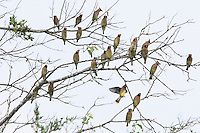 Flock of Cedar Waxwings in early Spring.