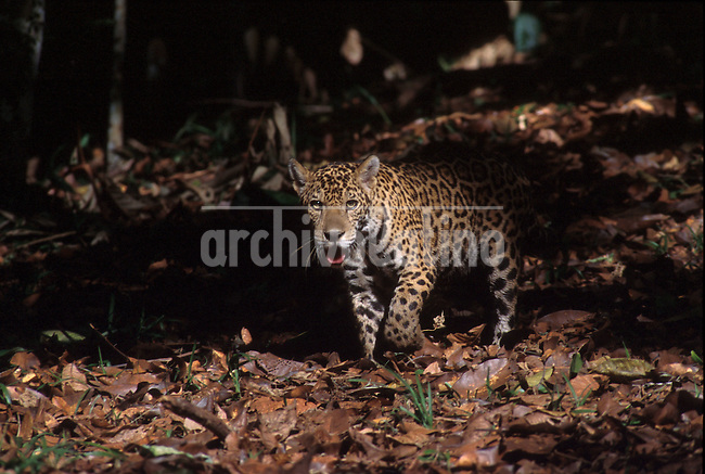 Jaguar u torongo, pantera onca, en la selva amazonica del Peru +fauna,   *Jaguar or torongo (onca phanter) in the Peruvian Amazon rain forest +wildlife, fauna *Jaguar ou torongo. +panthère, animaux, félins, jungle, forêts, faune,amazon