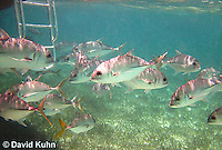 0109-1206  School of Horse-eye Jacks (Giant-eye Jack) Under Boat in Caribbean Reef, Gamefish, Caranx latus  © David Kuhn/Dwight Kuhn Photography