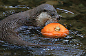 23/010/13<br /> <br /> A Eurasian Otter, the species found in the UK, pushes a pumpkin around its pool.<br /> <br /> As part of their seasonal enrichment programme, otters at The Chestnut Centre, Otter, Owl and Wildlife Park, are given pumpkins to play with in their enclosures high up in The Peak District near Chapel-en-le-Frith, Derbyshire.<br /> <br /> All Rights Reserved - F Stop Press +44 (0) 1335 300098