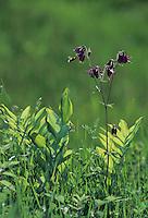 European Columbine, Aquilegia vulgaris, blooming with bumblebee, Oberaegeri, Switzerland, May 1995