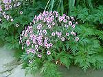 Madieran Shrub Cranesbill, Geranium maderense
