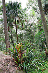 Elkhorn Fern and Cabbage Palm, Strickland State Forest, NSW