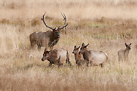 Bull Elk with cows, Rocky Mountain National Park, Colorado