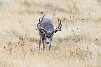 Mule Deer Buck (Odocoileus hemionus) with large, trophy rack.  Western U.S., fall.