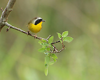 """A skulking masked warbler of wet thickets, the Common Yellowthroat is far more frequently heard than seen. Its """"wich-i-ty, wich-i-ty, wich-i-ty"""" can be heard from the Yukon to Newfoundland, and from southern Florida to southern Mexico. Male seen here."""