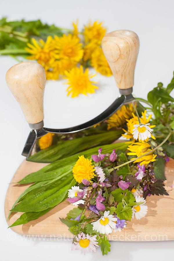 Essbare Wildkräuter, Kräuter werden mit Wiegemesser, Messer auf einem Brettchen zerkleinert, Ernte, Gänseblümchen (Bellis perennis), Löwenzahn (Taraxacum officinale), Taubnessel (Lamium spec.), Spitz-Wegerich (Plantago lanceolata), Gundermann (Glechoma hederacea), Edible wild herbs, herbs are crushed with mezzaluna, knife on a small board, harvest, English Daisy, Plantain, Ribwort, Alehoof, Ground Ivy, Blowballs, Dandelion, Dead Nettles
