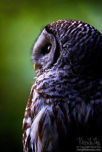 Portrait of a Barred Owl, Edmonds, Washington