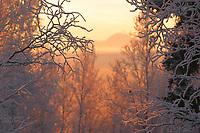 Mt Moffit of the Alaska mountain range through the frosted birch trees in winter, Fairbanks, Alaska