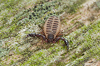 Pseudoskorpion, Afterskorpion, Bücherskorpion, Pseudoskorpione, Afterskorpione, Bücherskorpione, Pseudoscorpiones, Pseudoscorpionida, pseudoscorpion, false scorpion, book scorpion, pseudoscorpions