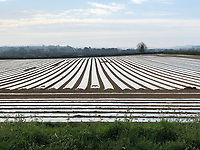 Photo: Richard Lane/Richard Lane Photography. Early sown under plastic forage maize grown for an AD plant. 16/04/2020.
