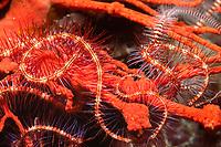 brittle sea star, Ophiothrix spiculata, Solomon Islands, Pacific Ocean