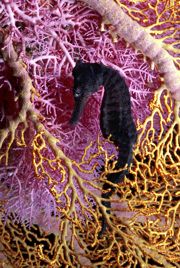 Branching lace coral [Stylaster sp] and a sea fan [Melithaea sp] form a colorful background for this seahorse [Hippocamopus kuda] Indonesia.