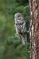 Great Gray Owl (Strix nebulosa). Jackson County, Oregon.