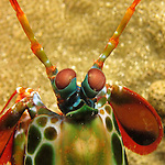 Kenting, Taiwan -- Close-up of the funny looking eyes of a mantis shrimp.