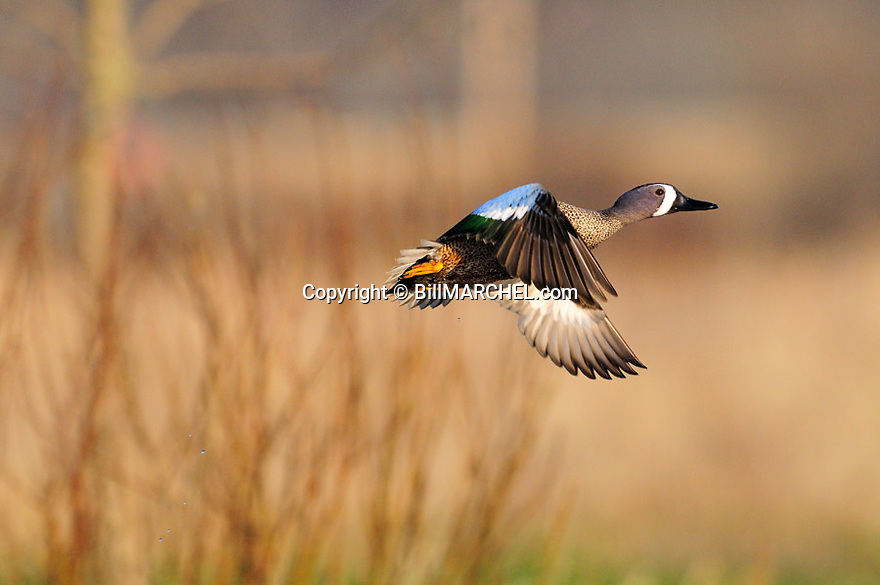 00315-065.11 Blue-winged Teal drake in flight with trees in the background.  Fly, action, hunt.