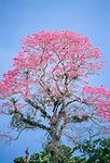 Pink Ipe tree, Tambopata -Candamo National Reserve, Peru