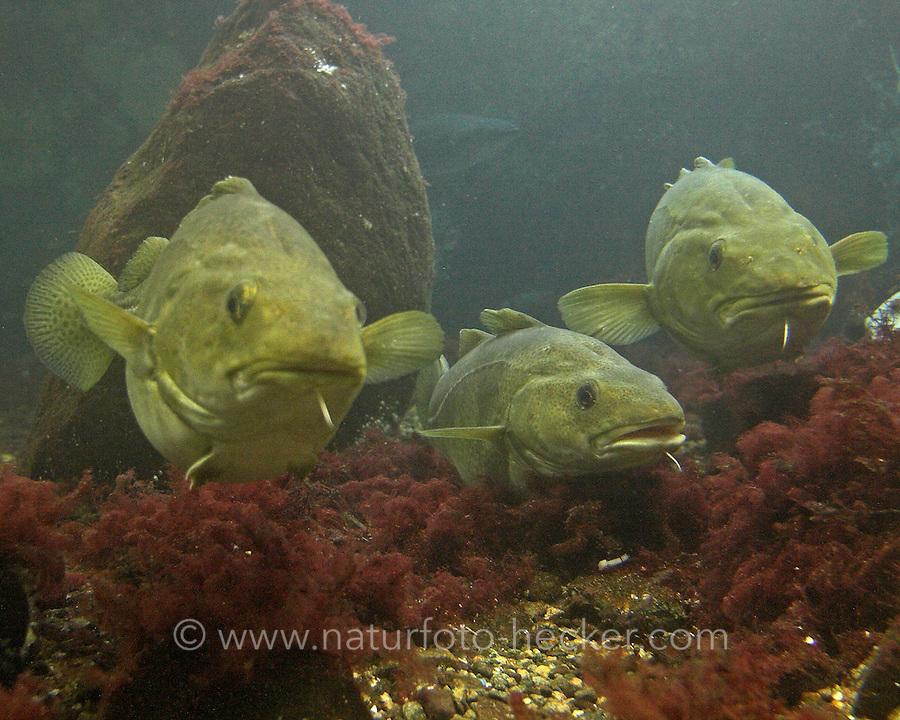 Dorsch, Kabeljau, Gadus morhua, Cod, Morue, codling, codfish, Cabbilaud