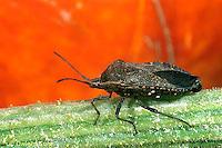HE10-004a  Squash Bug - Anasa tristis