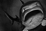 """""""Guppy""""<br /> Shark Display<br /> Museum of Natural History<br /> Manhattan, NY<br /> From the """"Captivity"""" series <br /> © Thierry Gourjon-Bieltvedt"""