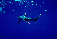 "Oceanic whitetip shark, Carcharhinus longimanus, is displaying the ""classic"" pectoral fin warning display.  Hawaii. surface jaw teeth predator dangerous menacing deadly hazardous cartilaginous horizontal sharks pelagic ocean Hawaii open ocean blue water pilotfish pilot fish pectoral fin warning display underwater marine danger"