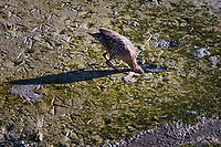 A California Clapper Rail searching for food at low tide.  Both the EPA and California State say the California Clapper Rail is an endangered species in immediate danger of becoming extinct.