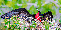 Male great frigatebird with its red gular pouch, spreading its wings, with blurred green vegetation background, Galapagos Islands, Ecuador