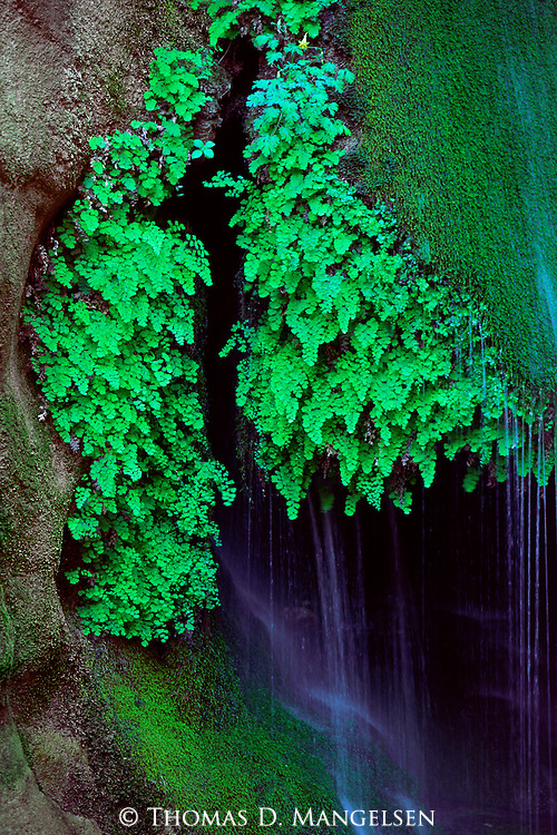 Moss and ferns surround a spring in Grand Canyon National Park, Arizona.