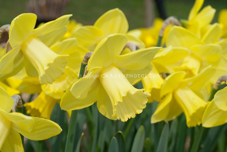 Narcissus Stann Creek daffodils in spring bloom with yellow flowers