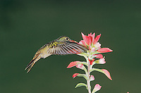 Buff-bellied Hummingbird, Amazilia yucatanenensis, adult feeding on Indian Paintbrush (Castilleja coccinea) , Lake Corpus Christi, Texas, USA, May 2003