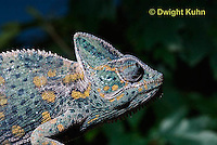 CH51-680z  Female Veiled Chameleon in display color, Chamaeleo calyptratus