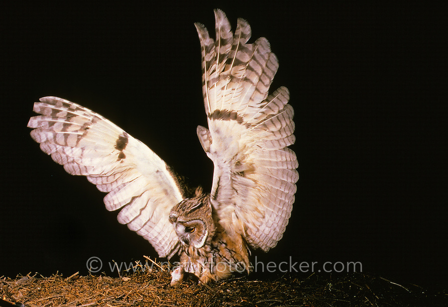 Waldohreule, im Flug greift eine Maus, Waldohr-Eule, Asio otus, long-eared owl