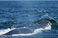 Adult Fin Whale, Balaenoptera physalus, surfacing in the upper Gulf of California, Sea of Cortez, Mexico, Pacific Ocean Note the asymmetrical lighter coloration of the lower right jaw.