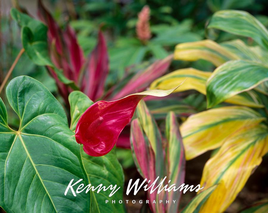 Antherium Flower and Ti Plants, Maui, Hawaii, USA.