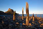 Great Britain, England, Northumberland, near Berwick-upon-Tweed:  Wooden posts of old pier below Lindisfarne Castle in evening light