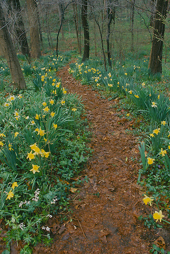 Pathway through backyard forest lined by daffodils in spring