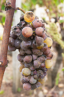 Noble rot grapes. Semillon. Chateau Nairac, Barsac, Sauternes, Bordeaux, France