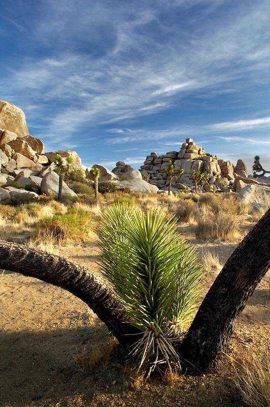 Joshua trees in Joshua Tree National Park. California