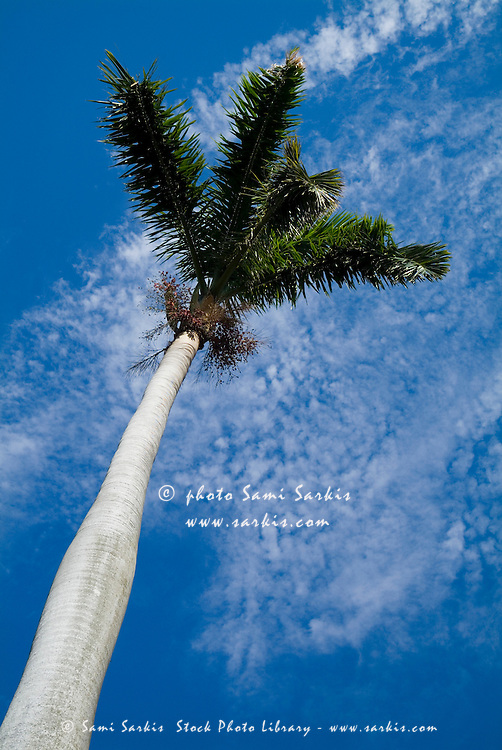 Palm tree against a cloudy sky in Havana, Cuba.