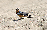 Barn Swallow LA River Southern California