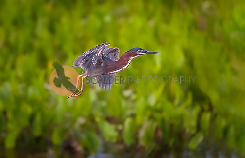 Green Heron lifting off in flight
